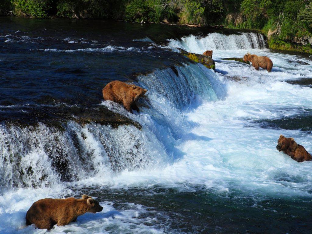 Медведи в Национальном парке и заповеднике Катмай. Фото businessinsider