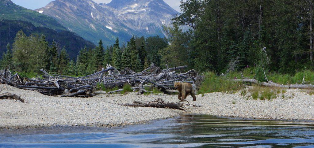 На Аляске запросто можно увидеть медведя, пристально наблюдающего за каждым вашим шагом. Фото http://royal-safari.com