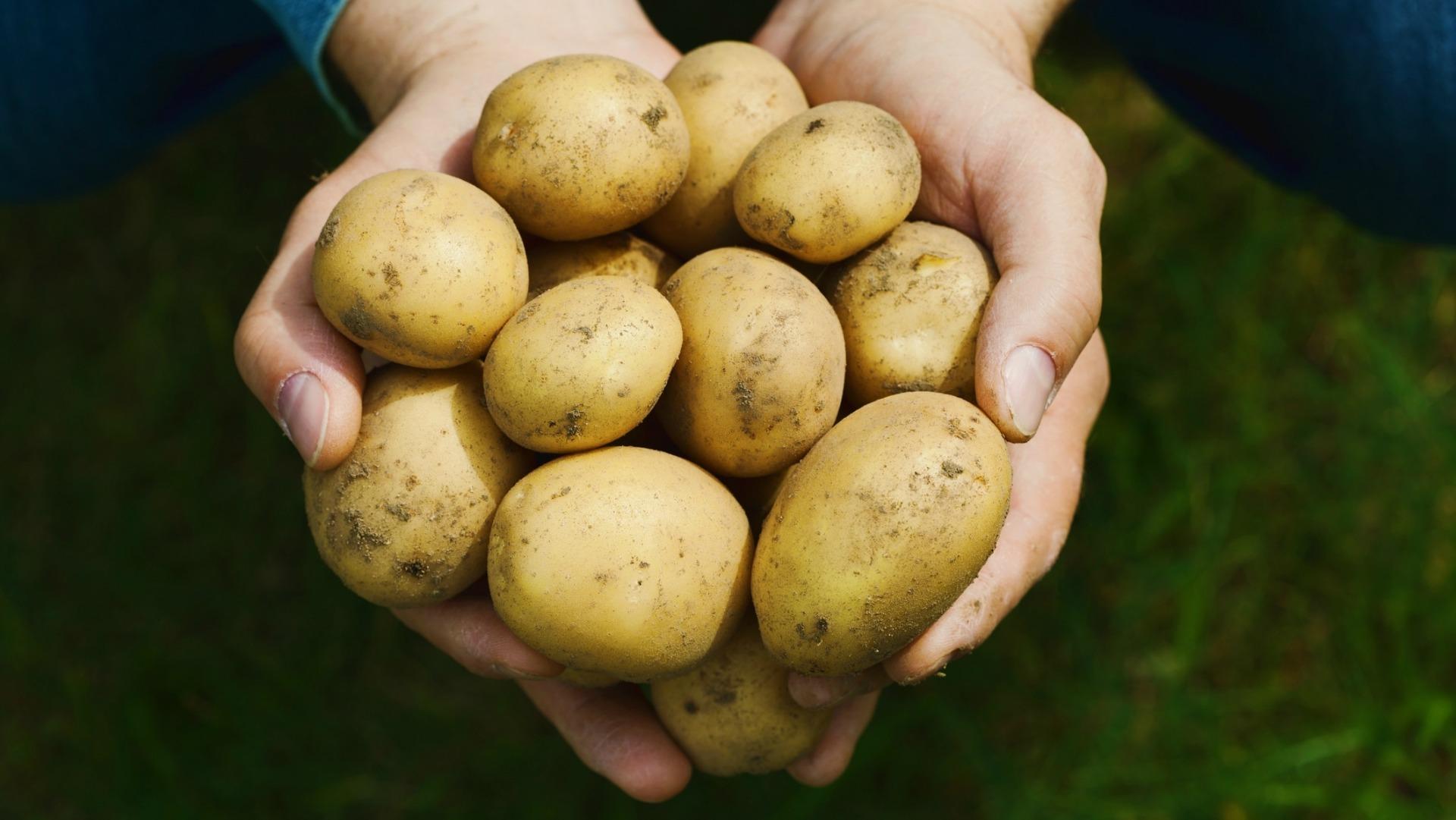 Если картофель стал зеленым, лучше его выбросить. Фото: sheknows.com
