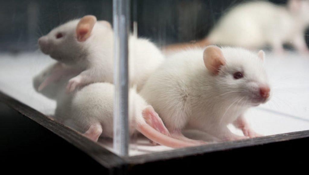 Технологию CRISPR испытали на мышах с ВИЧ. Фото vse42.ru
