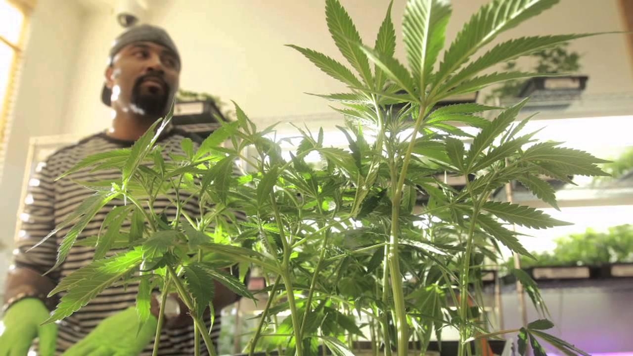 Так выращивают марихуану в Неваде. Фото: shouselaw.com