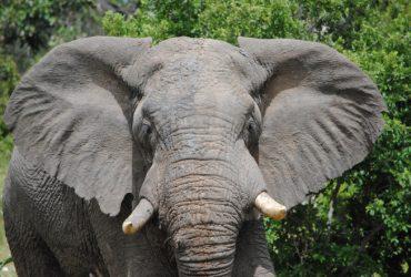Трамп разрешил ввозить в США слоновые трофеи из Африки
