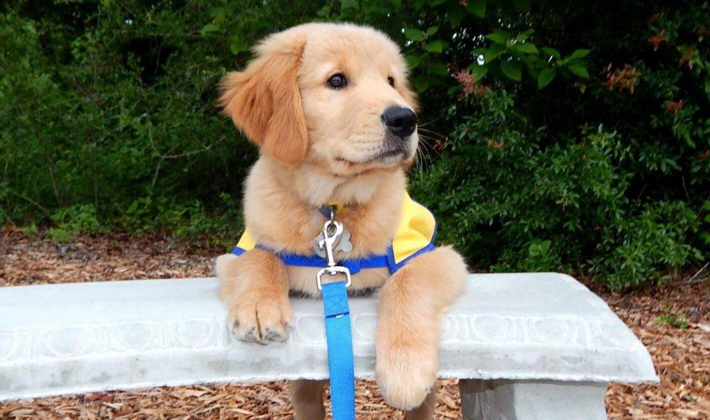 Как я дрессирую служебных собак для людей с инвалидностями