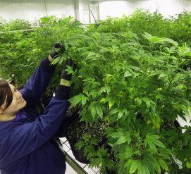 В Оклахоме легализировали лечебную марихуану