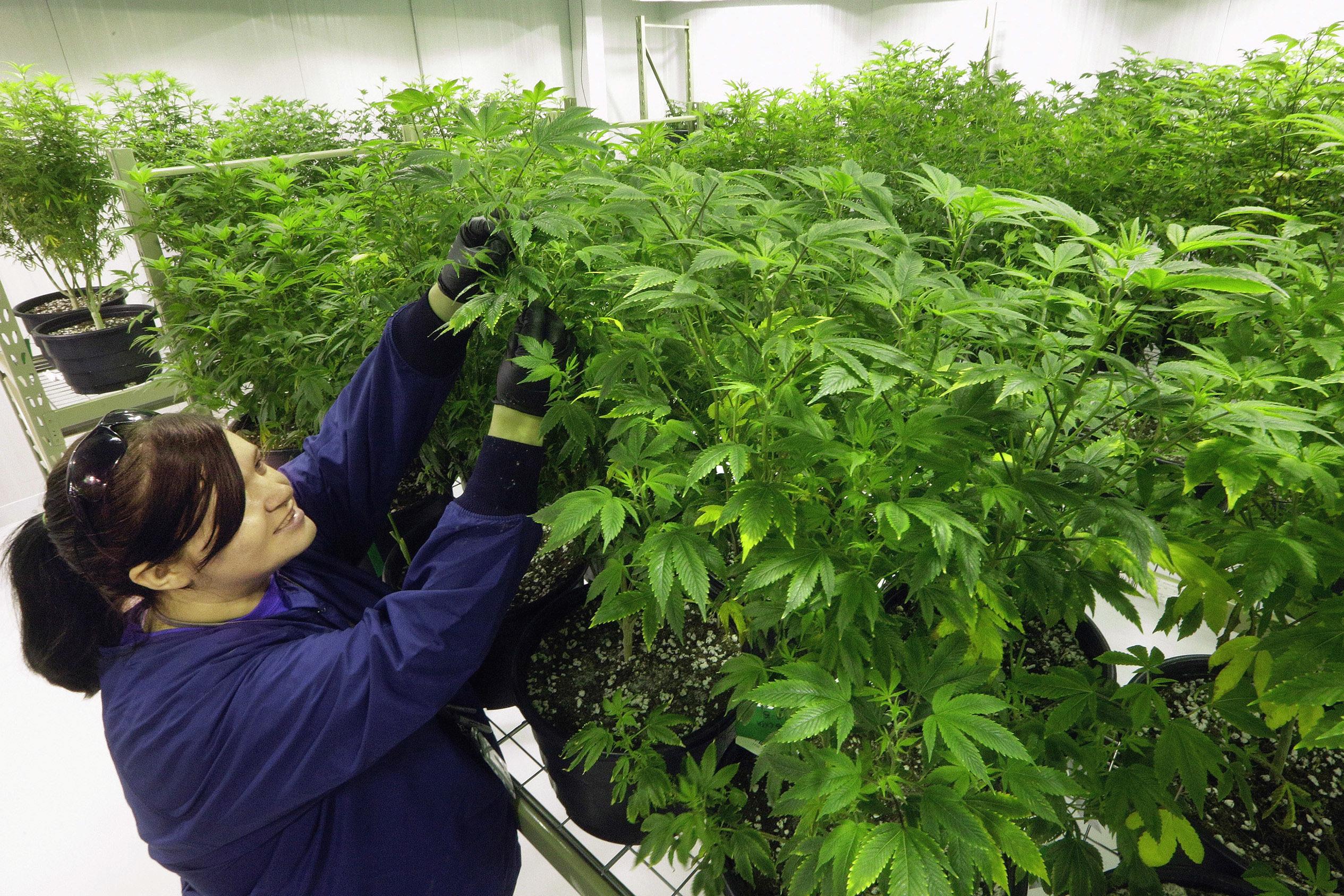 Разбавить коноплю можно чем марихуане свободу
