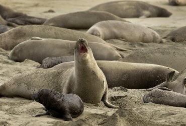 Морские слоны захватили калифорнийский пляж из-за шатдауна