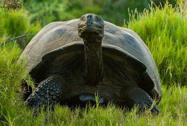 Черепаха-самец Диего выходит на пенсию. Он спас свой вид на Галапагосах